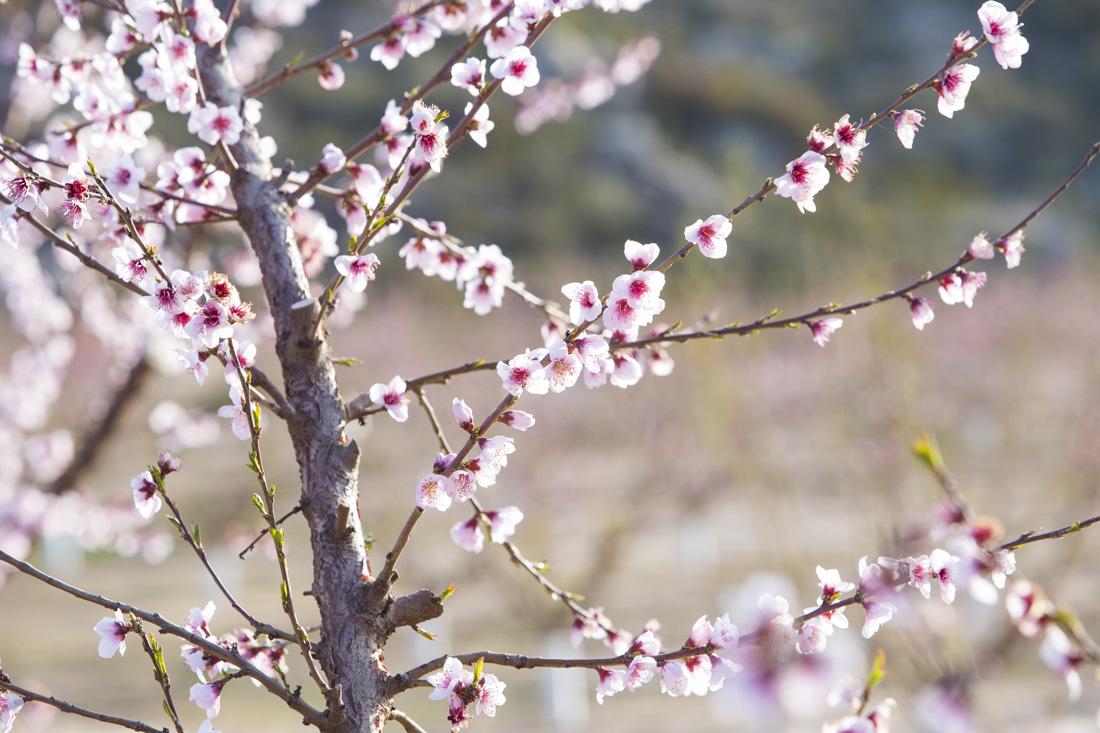 melocoton-calanda-flor